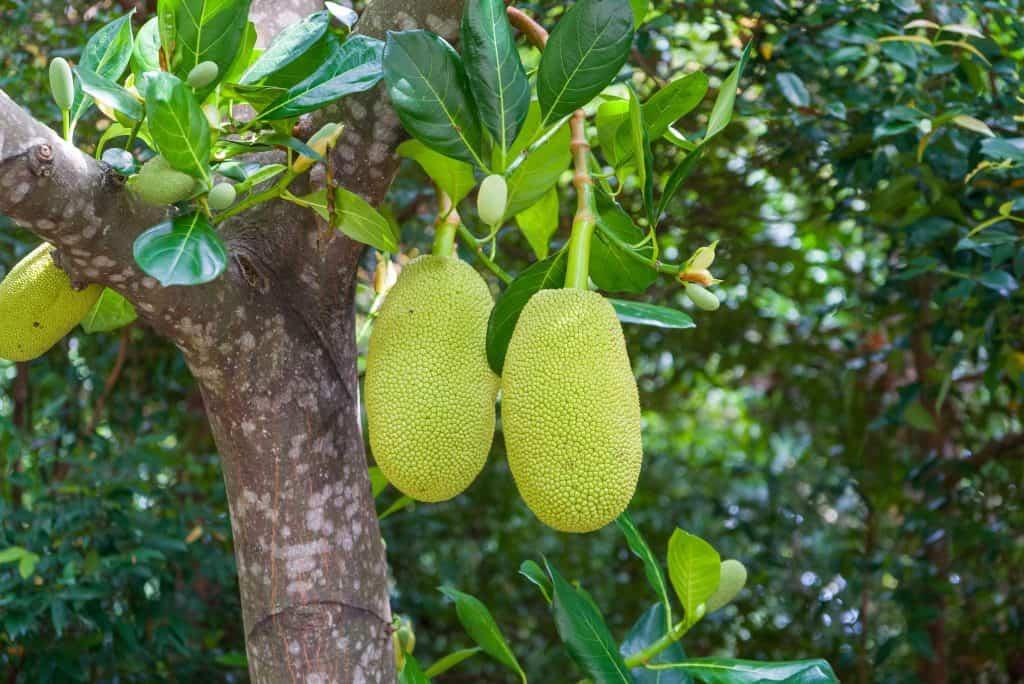 Jackfruit growing on a tree