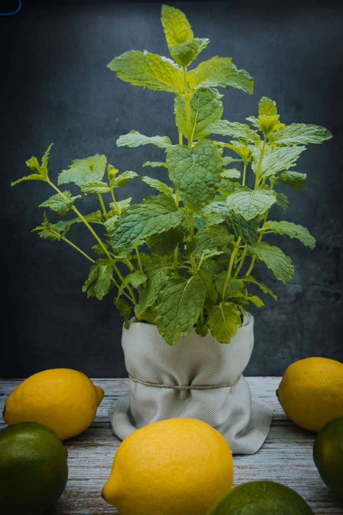 Fresh mint plant with lemons and limes